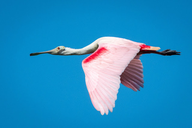 Roseate Spoonbill, Smith Oaks Audubon Sanctuary