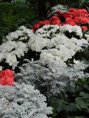 Allan Gardens Conservatory 2017 Christmas Flower Show red and white cyclamen and dusty miller by garden muses-not another Toronto gardening blog