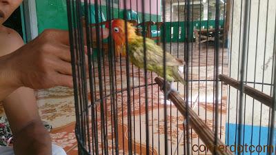 Tips menjinakan burung lovebird | lovebird fighter