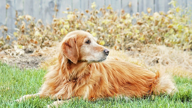 Are Golden Retrievers Bad For Asthma?