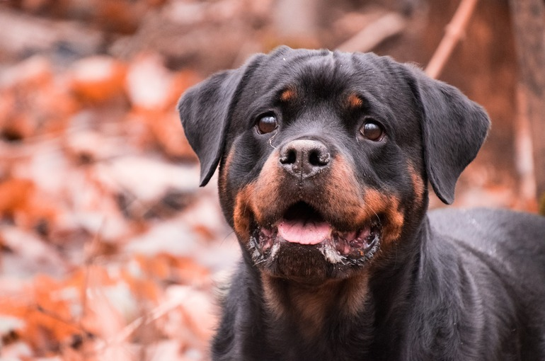 Should I buy a Rottweiler dog in India?