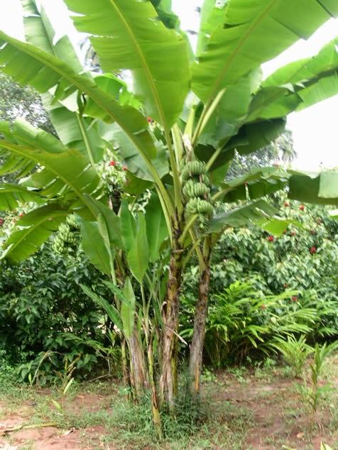Klasifikasi Ciri Ciri Dan Manfaat Tanaman Pisang Pohon Pisang
