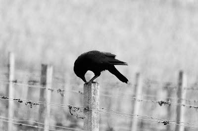 Czarny kruk już w locie, muzyka, piosenka, Kostrzewski, czerń i biel, zdjęcie