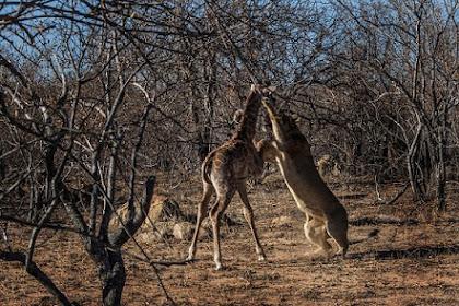 Perjuangan Terakhir Anak Jerapah Melawan Singa Dewasa