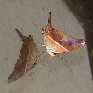 butterfly reflected on window
