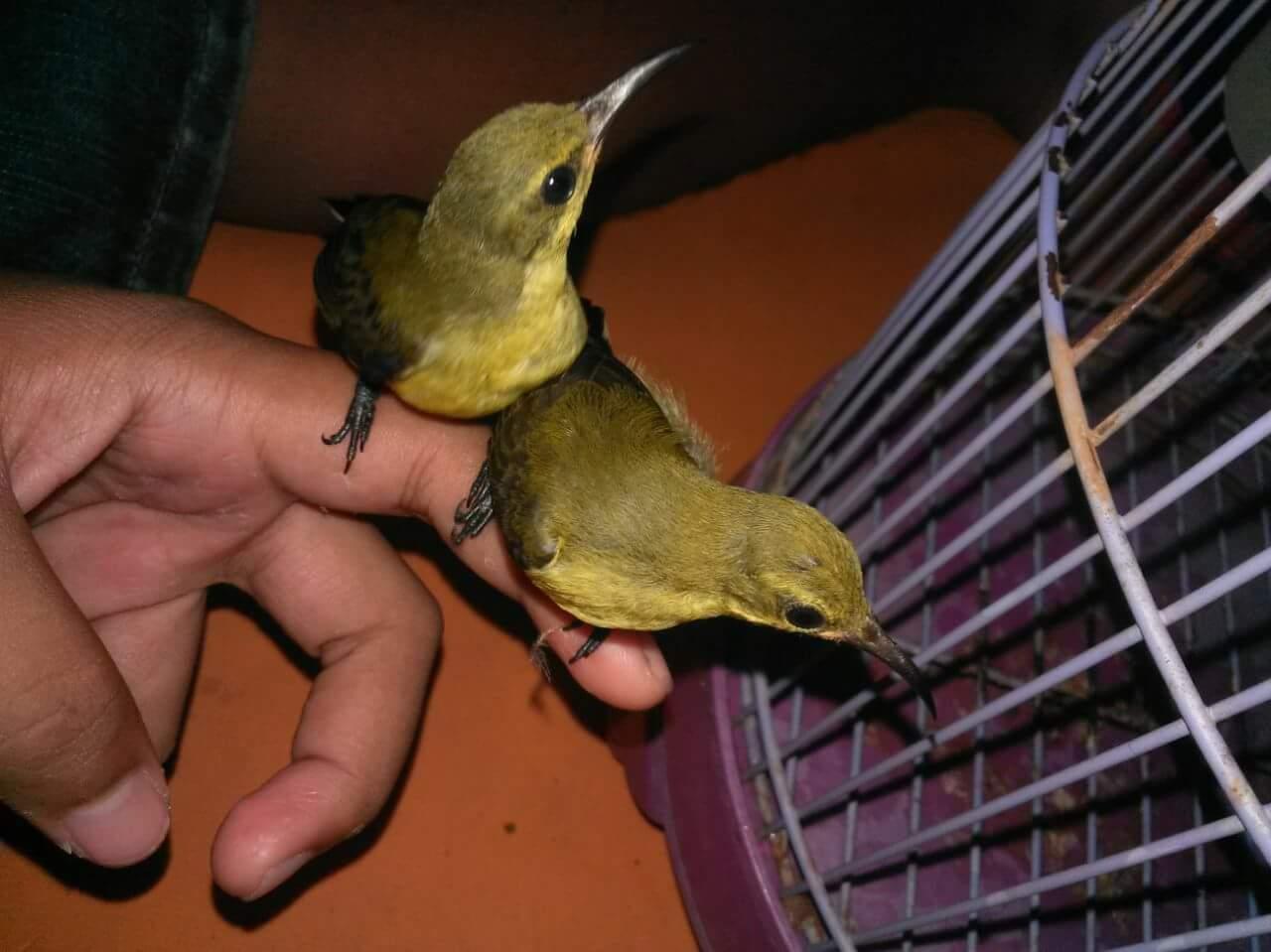 Kibung Kicau Burung Download Suara Masteran Mp3 Burung Sogok