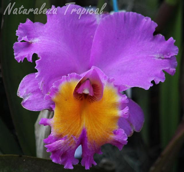 Hermosa flor de una orquídea del género Cattleya