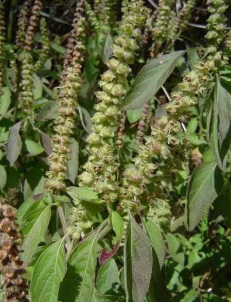 Agro D'surext: Africa basil or scent leaf (Ocimum gratissimum)