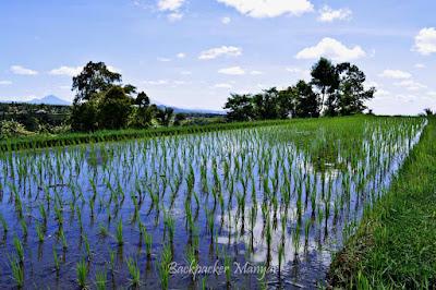 Jatiluwih Rice Terrace dengan hamparan padi - Backpacker Manyar