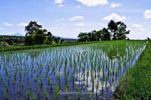 Padi tumbuh di Jatiluwih Rice Terrace Bali
