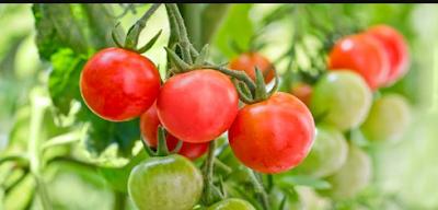 "All about tomato ""mini tomato"""