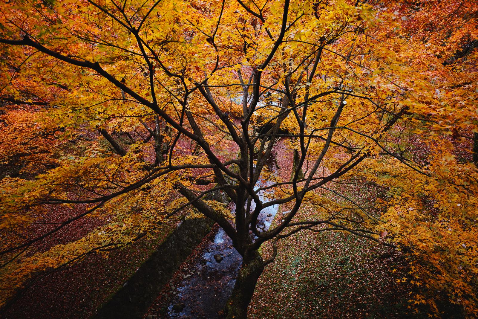 默拍京都:12月的楓葉銀杏之旅