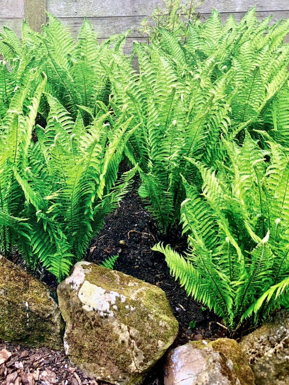 beautiful ferns in flowerbed