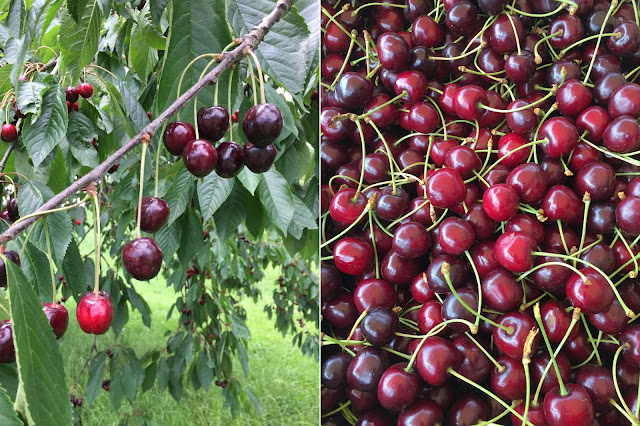 reife Kirschen am Baum und in der Schale
