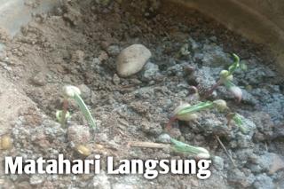 Pertumbuhan kacang hijau