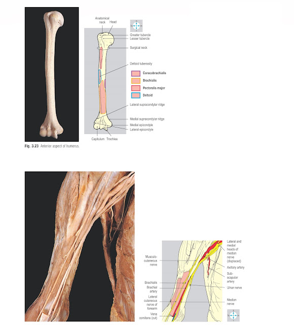Brachialis, the brachial artery and the nerves of the compartment. Biceps brachii and most veins have been excised.
