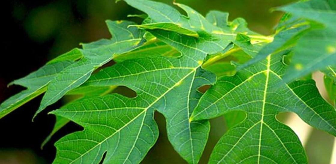 6 Pakan Lele Alternatif Dari Tumbuhan Panenlele