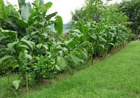 Puriscal tobacco plants