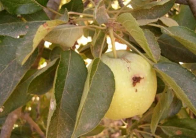 3 ملايين و200 ألف شجرة تفاح في السويداء مهددة بسبب حشرة (دودة التفاح)