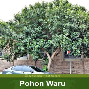ciri ciri pohon waru