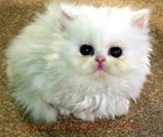 Siapa Saja Yang Boleh Memelihara Kucing Anggora