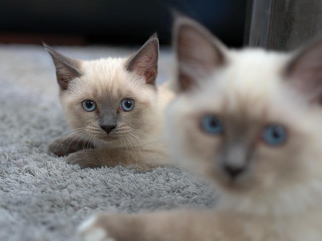 Karakter Dan Kepribadian Kucing Siam