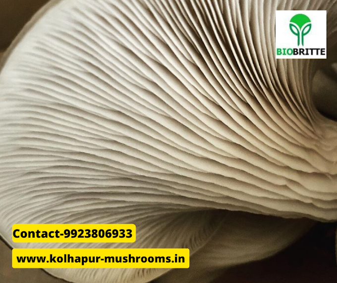 Fresh mushrooms edible | oyster mushrooms | mushroom store | mushroom supply | organic mushrooms | edible mushrooms