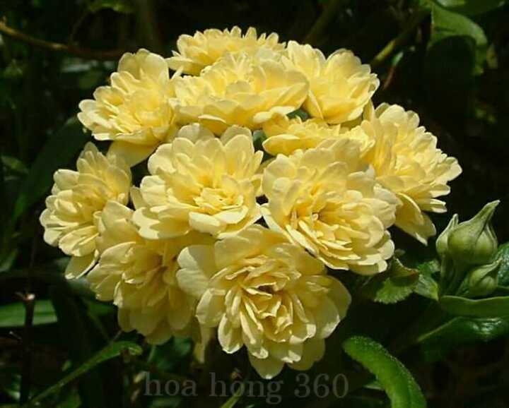 hoa hồng leo mân côi rosa banksiae cho hoa màu vàng