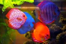 Cara Agar Warna Ikan Discus Keluar