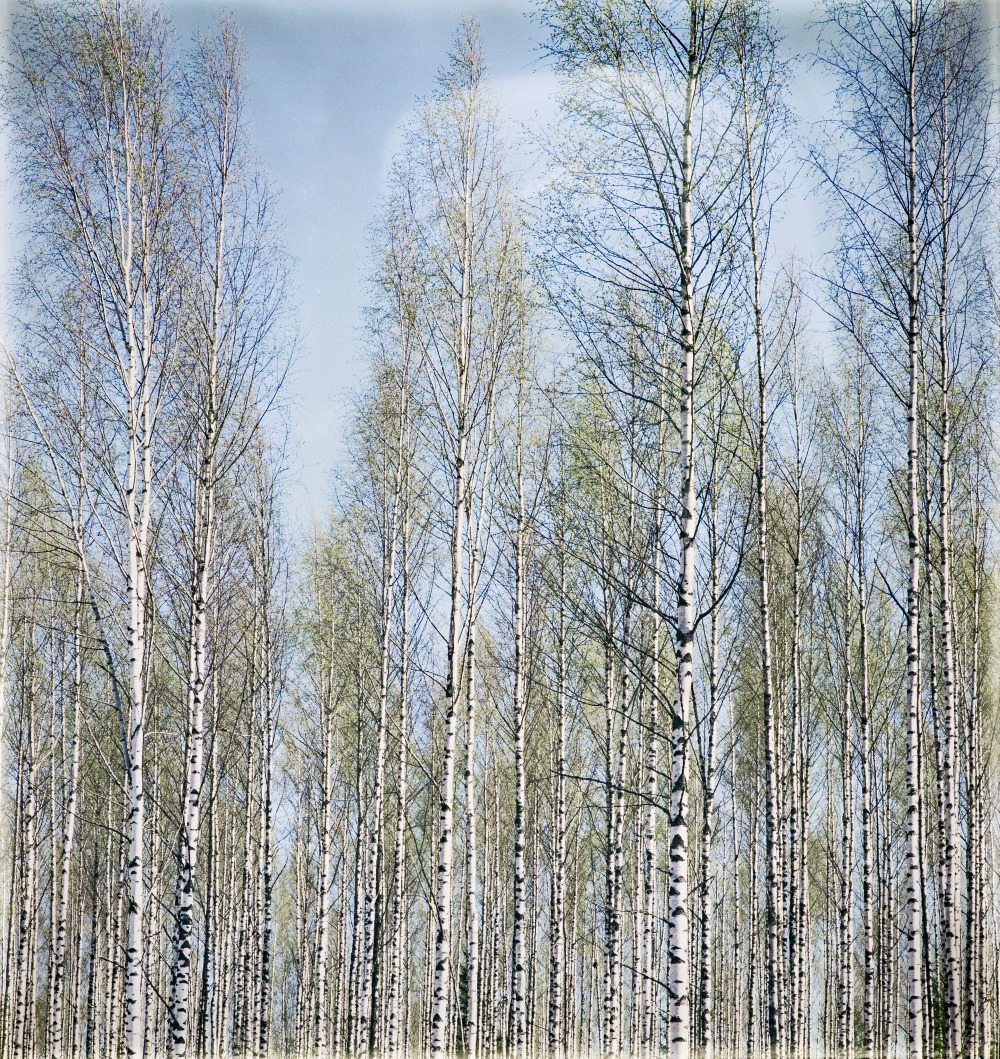 valokuvaus, koivumetsä, luonto, kevät, valokuvaaja Frida Steiner, Visualaddict, valokuvaaminen, luontokuva, metsä, puunrunko, suomi