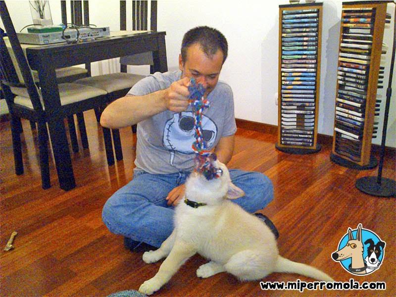 Can de Palleiro cachorro jugando con una cuerda