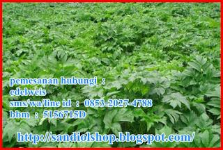 komposisi utama tanaman herbal ashitaba (seledri jepang)