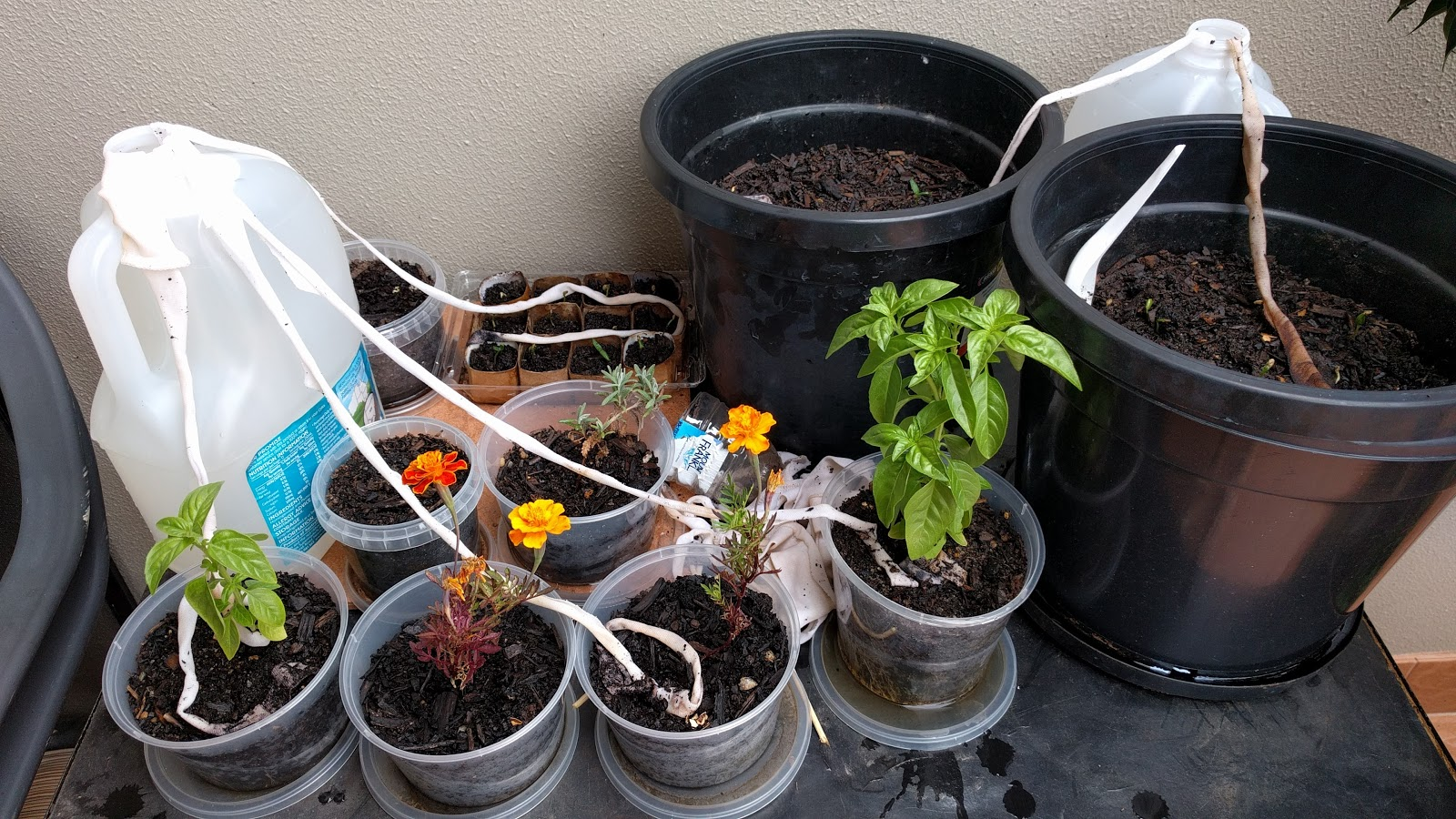 Vicki Lowe Using a wick to water plants while away