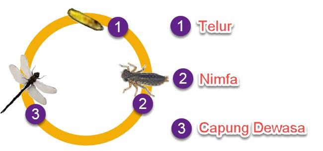 Metamorfosis Capung