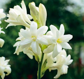 hinh hoa hue trang