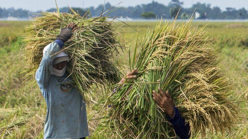 Import beras saat panen raya