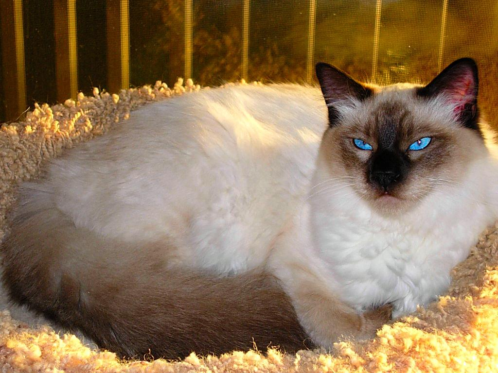 Cat Cat Balinese Cat The Life Of Animals