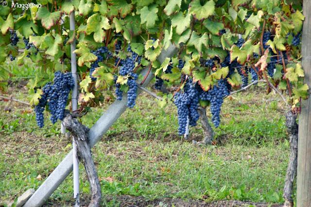 Le pregiate uve da cui si ottiene il Vino Barolo
