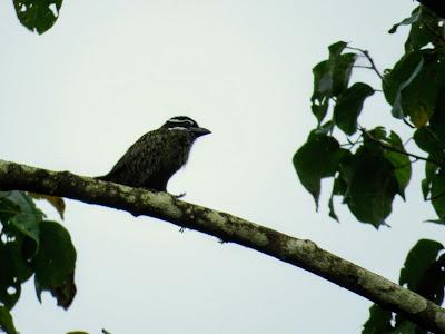 Ugandan Birds: Tinkerbird