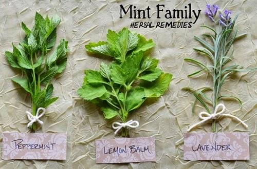 Cách trồng cây bạc hà tại nhà ít tốn kém