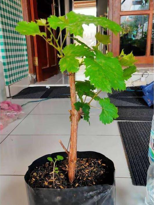 Bibit Anggur Import Jenis Banana Premium Cod Sulawesi Utara