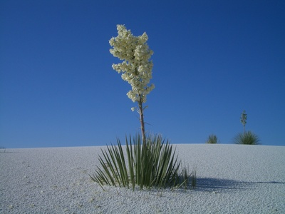 yucca plant, yucca plants, yuccas