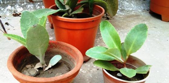 Bryophyllum leaves