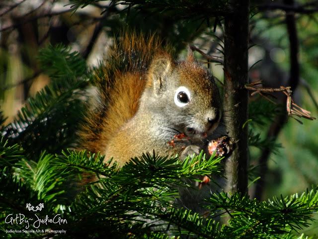 Newfoundland Squirrel Photo