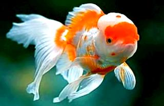 Jenis pakan terbaik untuk ikan mas koki oranda