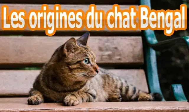 Les origines du chat Bengal