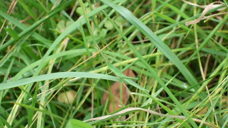 草むらに緑色のイナゴがいる