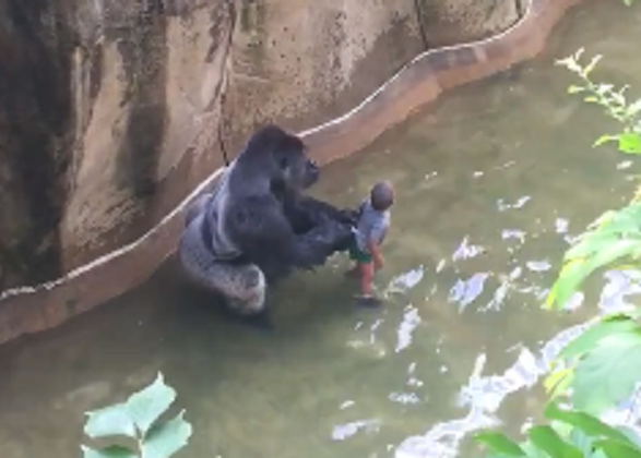 Nuevo video revela que gorila Harambe sólo protegía al niño