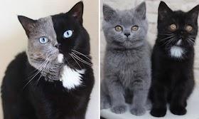 """""""Two Face"""" Sepasang Anak Kucing yang Menggemaskan di Masing-masing Warna-Nya"""