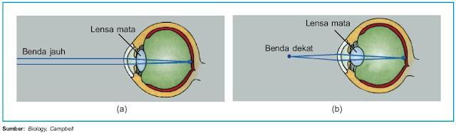Lensa mata mampu memipih dan mencembung